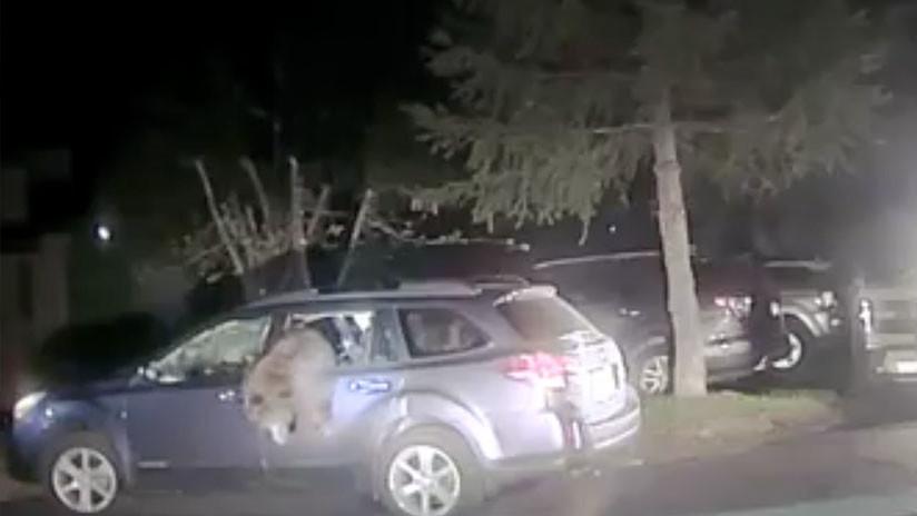 VIDEO: Un policía rescata a un oso atrapado dentro de un coche en EE.UU.