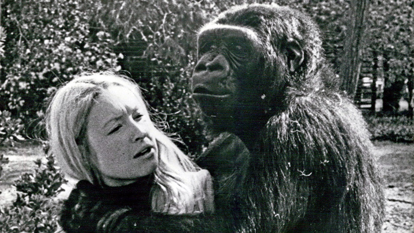Muere Koko, la gorila capaz de 'hablar' con los humanos (FOTOS, VIDEOS)
