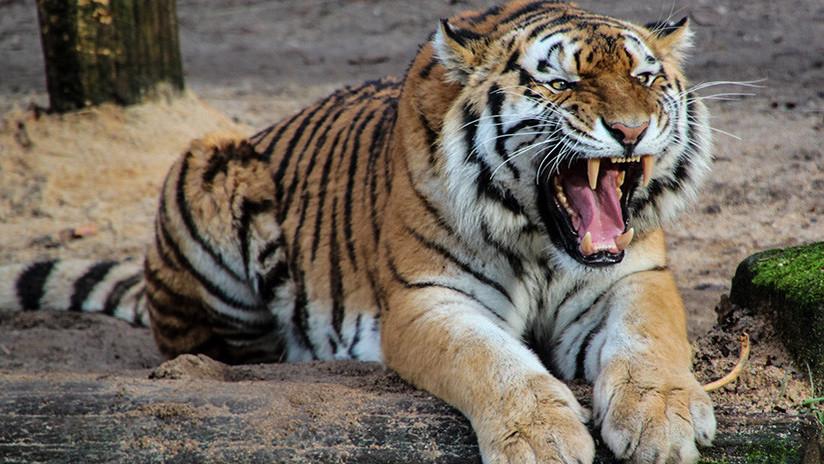 VIDEO: Un tigre 'ataca' por la espalda a un visitante en un zoo