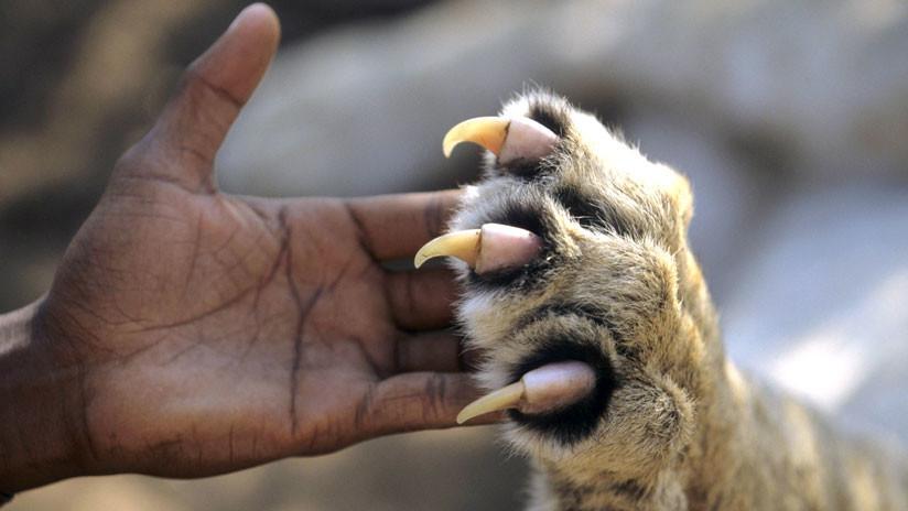 Los grandes felinos salvajes de América se comunican mediante mensajes