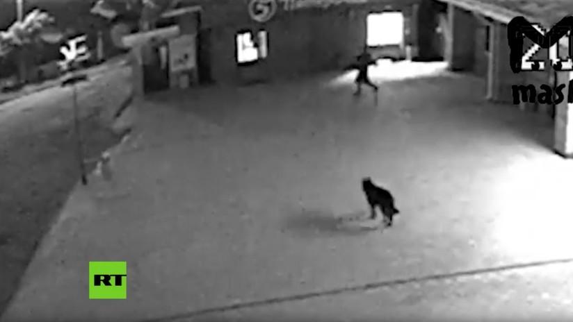 ¿Perro guardian?: Un can forma parte de una banda de ladrones (VIDEO)