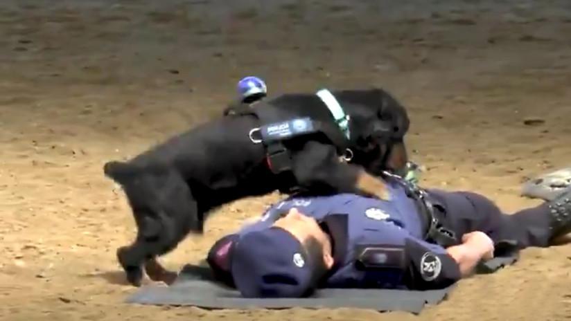 VIDEO: Un perro de la Policía de Madrid 'salva' a un agente al hacerle reanimación cardiopulmonar