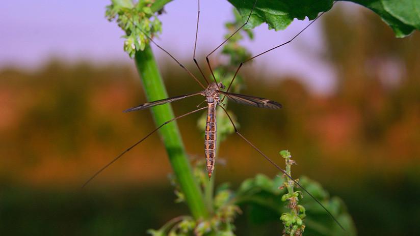 Bill Gates creará mosquitos 'autodestructivos' para vencer la malaria