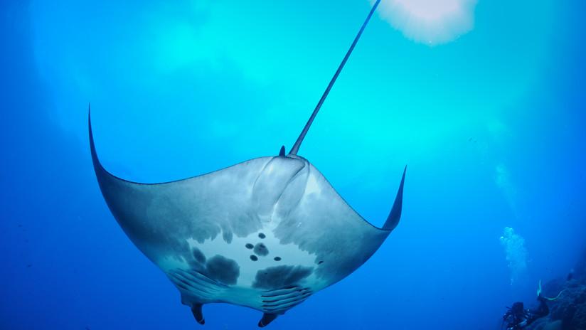 VIDEO: Descubren en el golfo de México el primer vivero natural de mantas gigantes