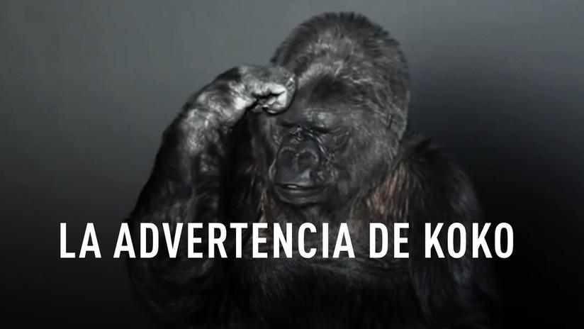 La gorila que se expresaba con lenguaje de signos nos advirtió sobre la estupidez humana