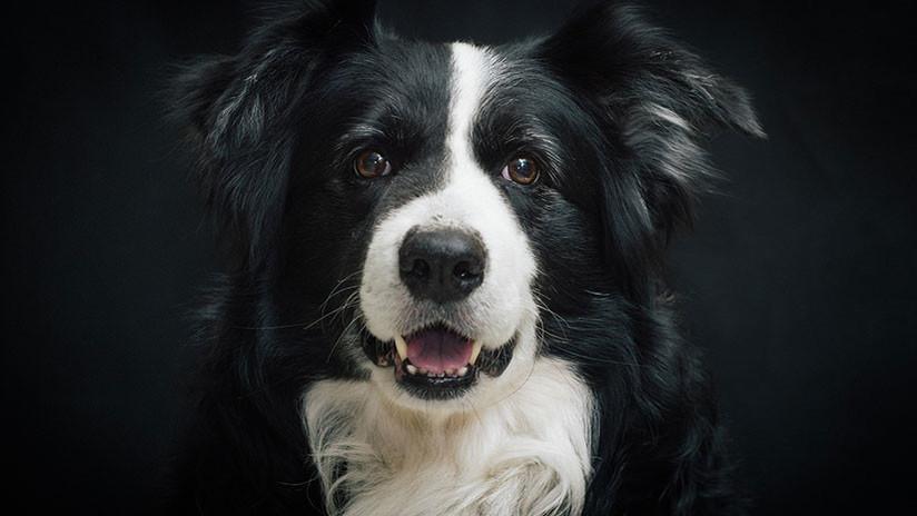 El reto viral de desaparecer delante de tu perro: ¿Cómo reaccionaría tu mascota? (VIDEOS, FOTOS)