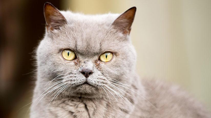 A la cárcel tras robar cientos de miles de libras a su empresa para comprarse gatos con pedigrí