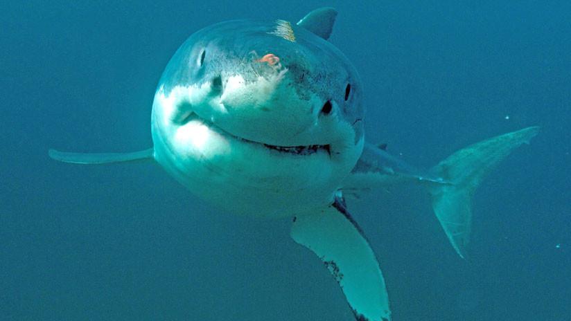 Avistan un gran tiburón blanco en aguas españolas tras 30 años