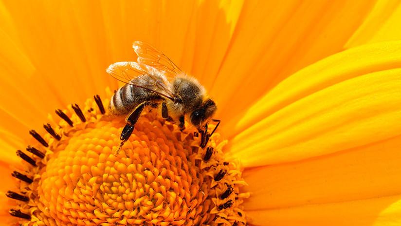 Alerta científica: ¡Las abejas se extinguirán en cuestión de años! (y nos afectará a todos)