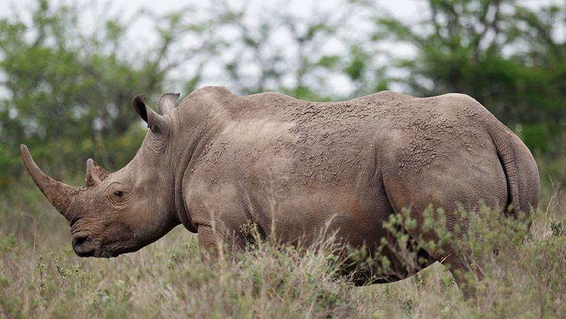 Matan a un raro rinoceronte por un centímetro de cuerno, recortado por los cuidadores para salvarlo