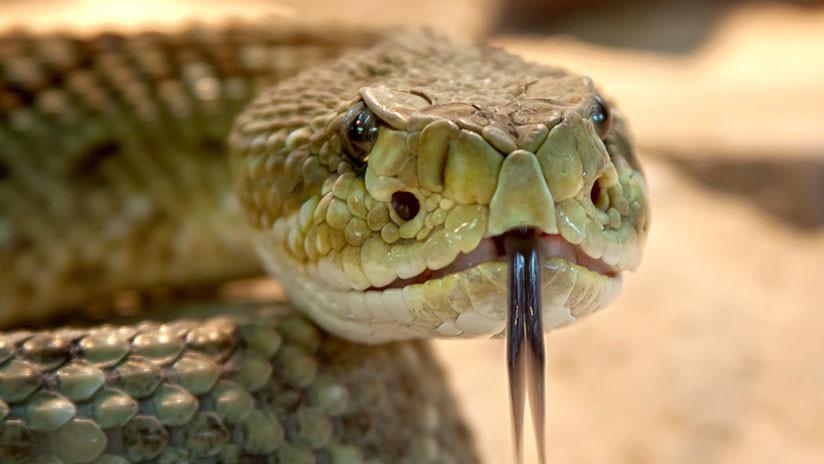 FOTOS: Un valiente perro es mordido por una serpiente al proteger a su dueña