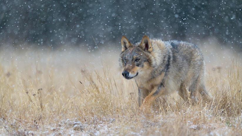 Animales mutantes: Advierten que los lobos de Chernóbil podrían dispersar sus genes por toda Europa