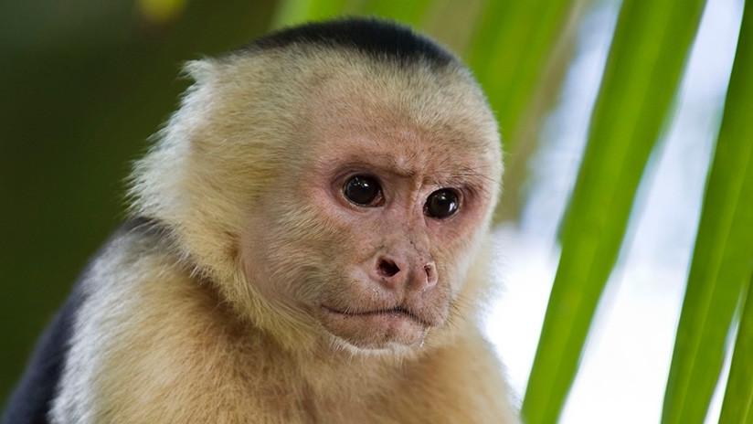 Monos panameños dan signos de haber iniciado su propia Edad de Piedra