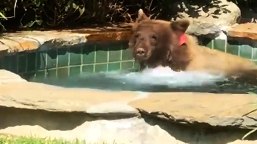 VIDEO: Un oso disfruta de un sensual baño en un 'jacuzzi' en California