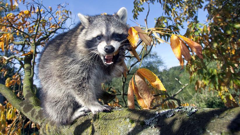 Confrontación de una furiosa madre mapache y un gato montés