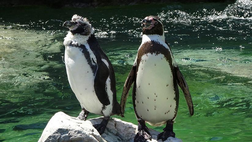 VIDEO: Una pareja de pingüinos que pasea 'de la mano' por la playa triunfa en Internet
