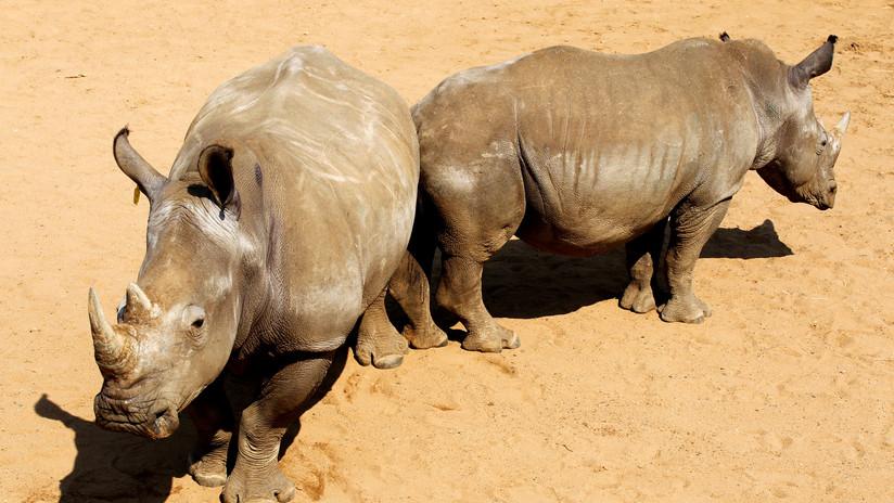 Crean en un laboratorio embriones de rinoceronte blanco casi extinto