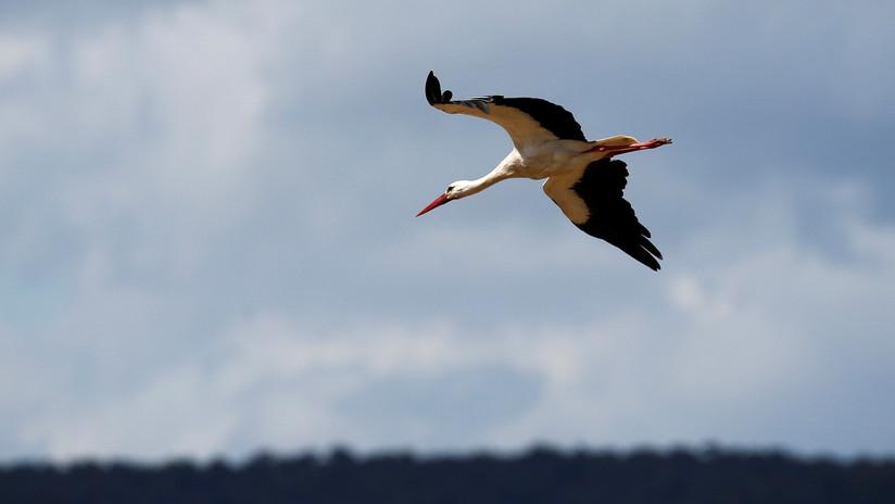 Ornitólogos ponen rastreador con SIM en una cigüeña y reciben factura por 2.700 dólares en llamadas
