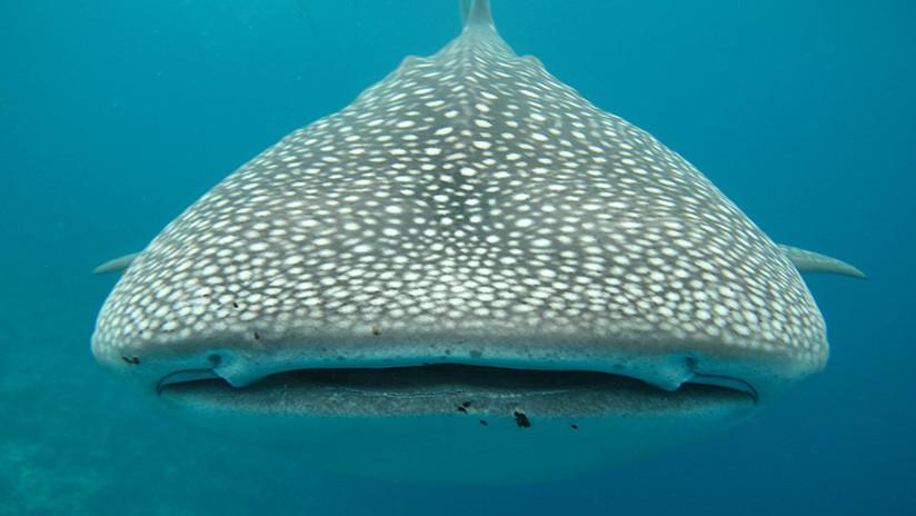 Identifican características de sitios elegidos por cardúmenes de tiburones ballena