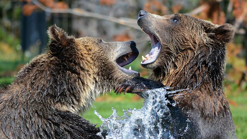 FOTO: Un gran oso mata a un osezno en un parque natural en EE.UU.