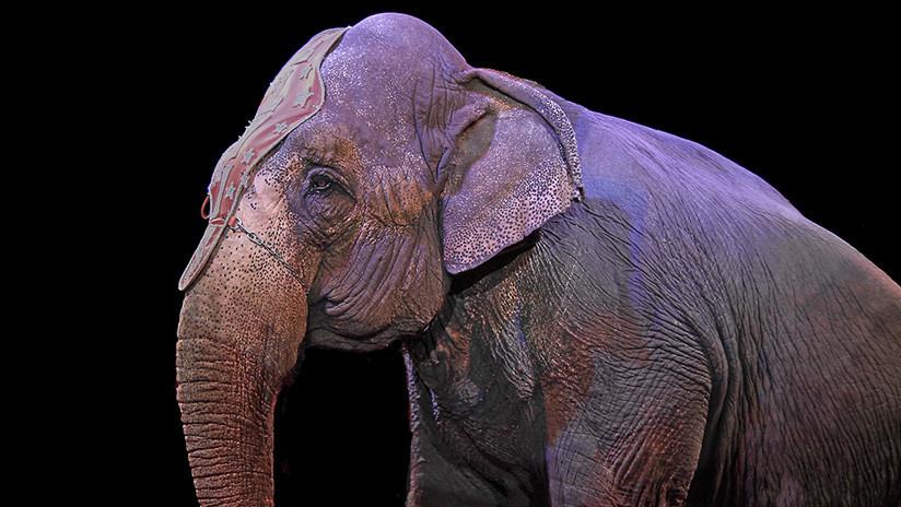VIDEO: Un elefante cae sobre los espectadores de un circo y abre polémica en Alemania