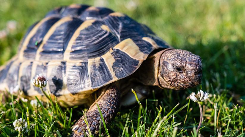 Una tortuga perdida en un lago se reúne con su dueño tres años después