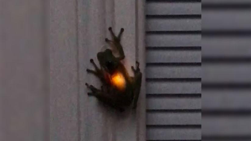 Rana se traga a luciérnaga y comienza a brillar por dentro