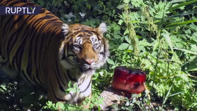 """""""Delicadeza en un día caluroso"""": Sirven un helado 'sangriento' al tigre en un zoo alemán (VIDEO)"""