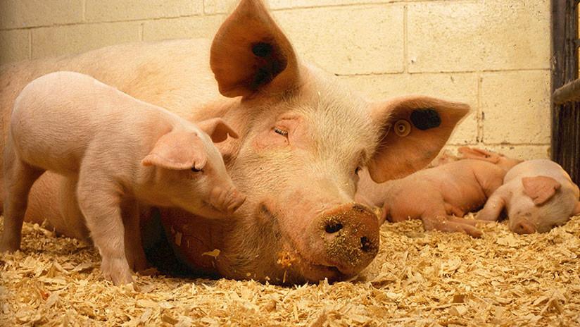 FOTOS, VIDEO: Nace en China un cerdo mutante con 'cara humana'