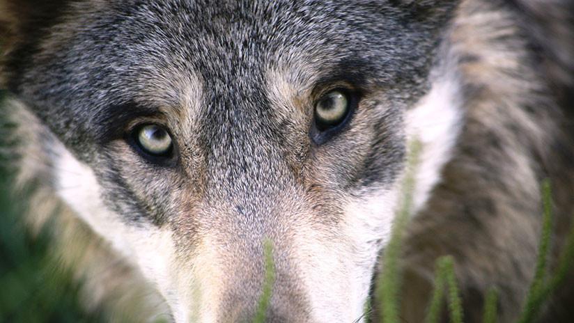 FOTOS: Rescatan a un lobo a punto de morir con la cabeza atrapada en un recipiente plástico