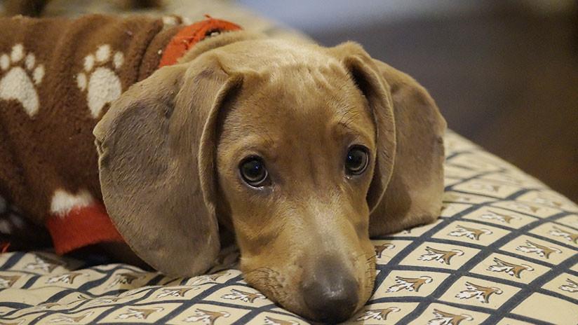 Un perro salchicha pasó casi una semana en el desierto después de 'caer' del avión
