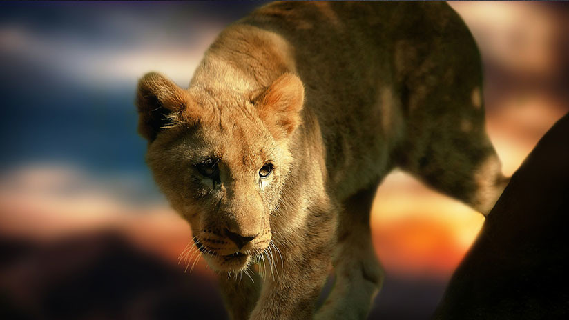 VIDEO: Un café de Turquía encierra a una leona en un estrecho pasillo de cristal