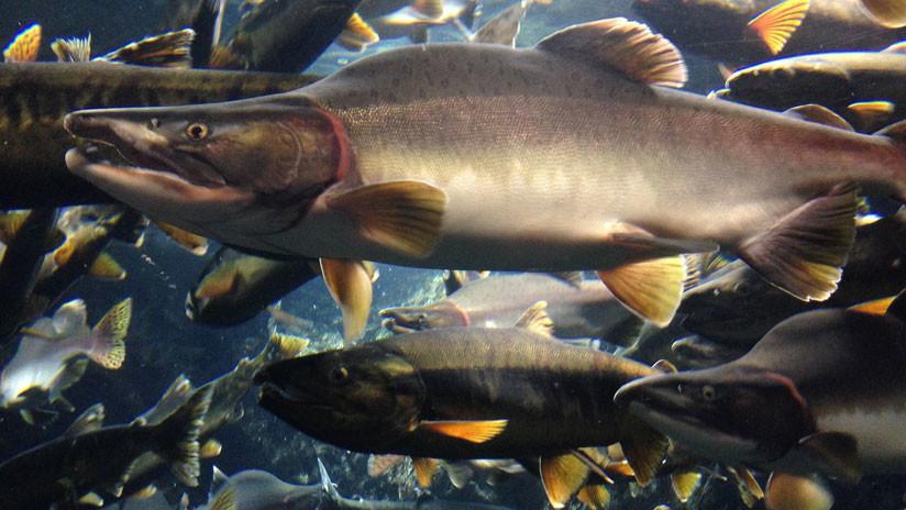 La 'fuga' de casi un millón de salmones de un criadero pone en peligro el ecosistema de Chile
