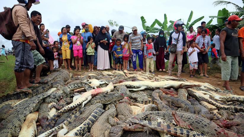 FOTOS: Matan a cerca de 300 cocodrilos en venganza por la muerte de un vecino en Indonesia