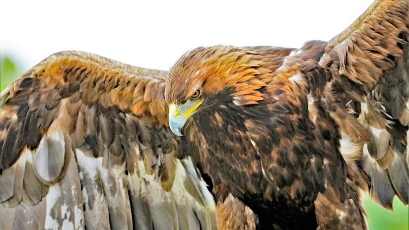 VIDEO: Una águila real se lanza sobre una niña de 8 años y la retiene en el suelo