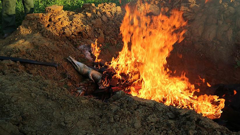 FOTOS: Queman los cuerpos de casi 300 cocodrilos sacrificados por una venganza en Indonesia