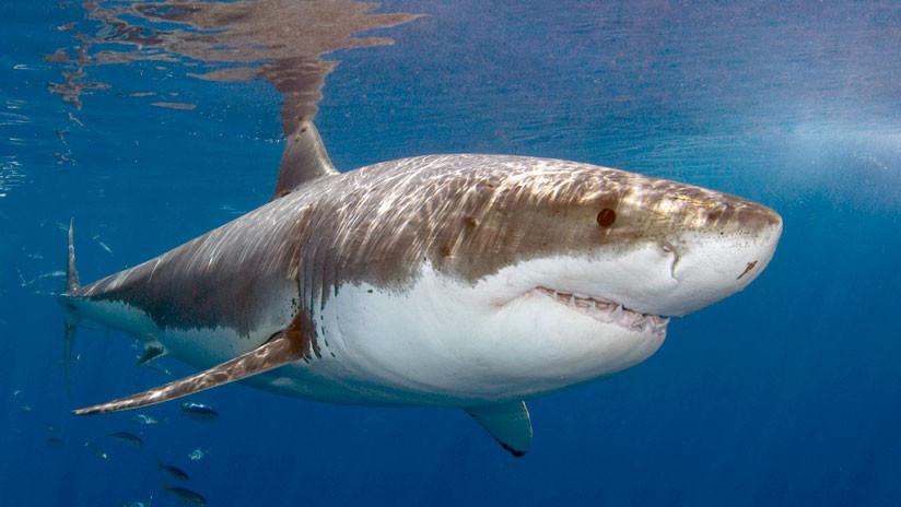 """""""¡Ya están aquí!"""": Detectan la presencia de tiburones blancos en las aguas de Reino Unido"""