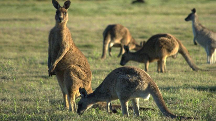 ¿Está Australia superpoblada de canguros? Una mujer filma cómo 'invaden' su prado (VIDEO)