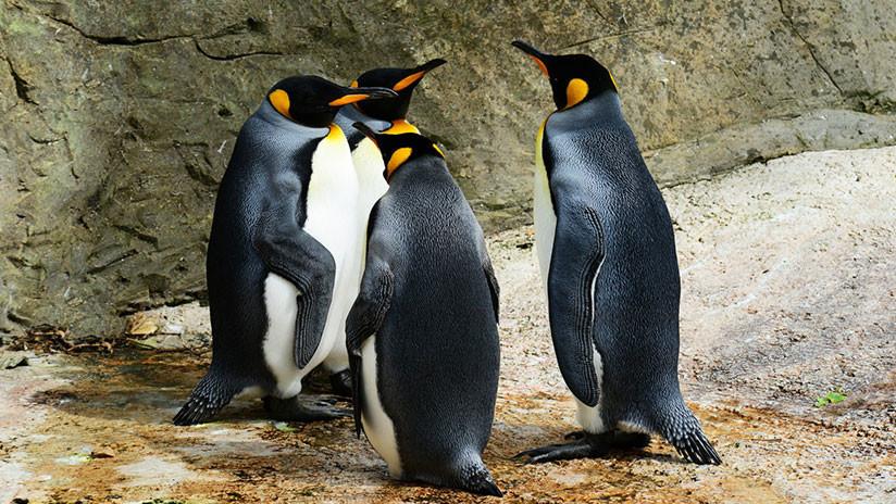 Se está extinguiendo la mayor colonia de pingüinos rey del mundo y nadie sabe por qué
