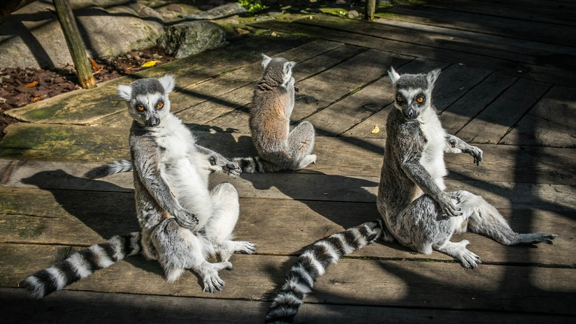 Lémures de Madagascar están al borde de la extinción