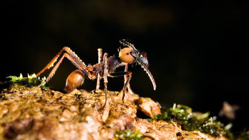 !Impresionante! hormigas crean puente para atacar colonia de avispas