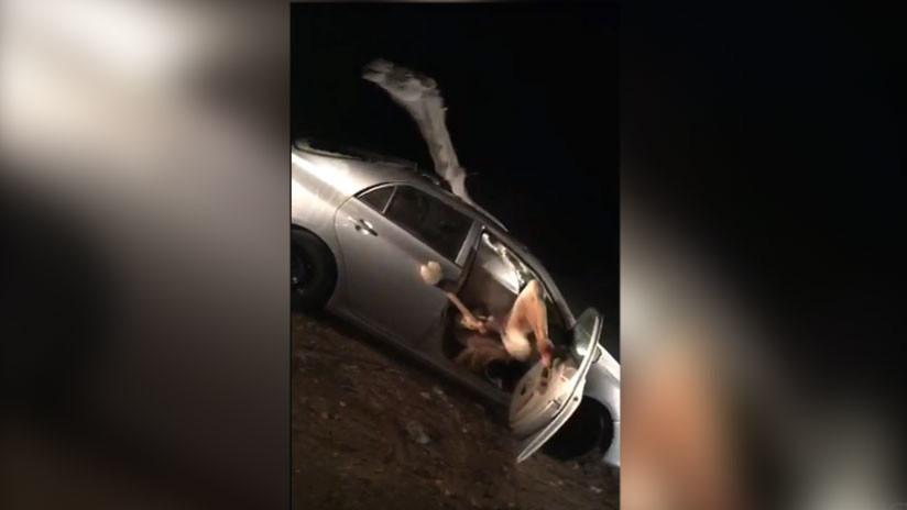 Conductor choca contra un camello que termina adentro del auto