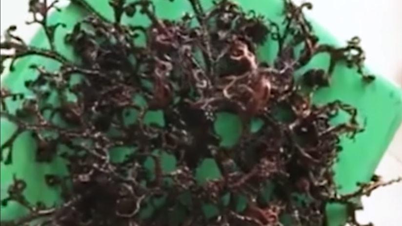 """""""Es un monstruo"""": Hallan una misteriosa criatura con tentáculos en Vietnam (VIDEO)"""
