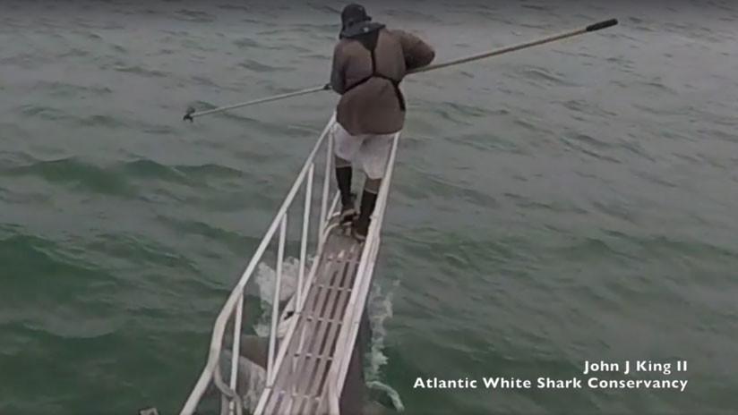 """VIDEO: Un científico observa tiburones blancos y uno le da una """"sorpresa"""" escalofriante"""