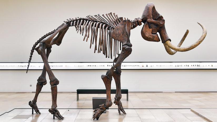 Hallan en Siberia un mamut enano adulto congelado en perfecto estado de conservación