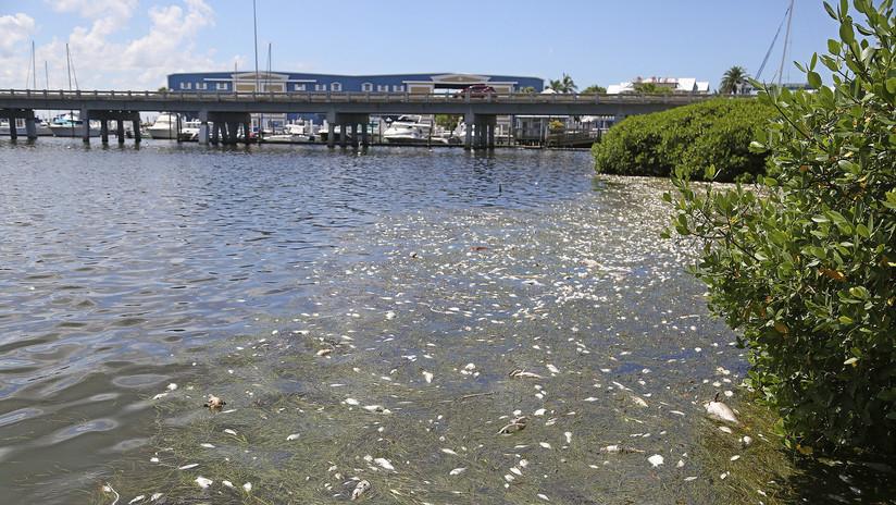 EE.UU.: Declaran estado de emergencia en Florida por marea roja tóxica (FOTOS)