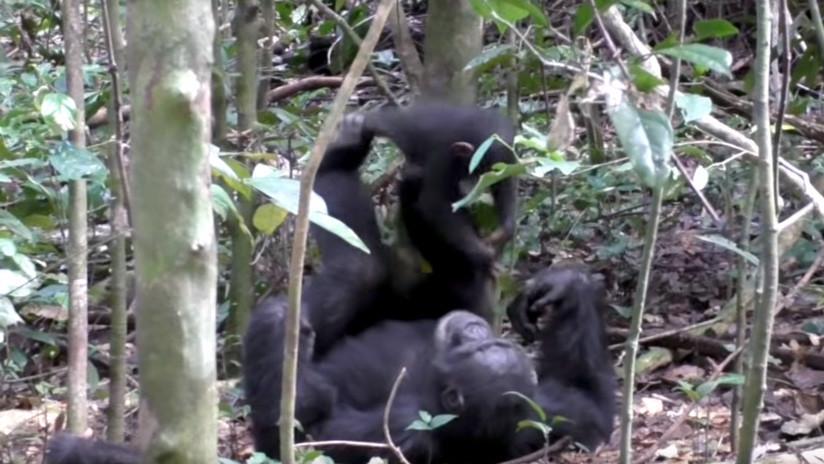 VIDEO: Chimpancé juega a los aviones con una cría (y hasta simula una turbulencia)