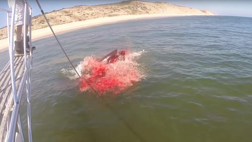 Mar de sangre: Graban el ataque de un tiburón a una foca en EE.UU. (VIDEO)