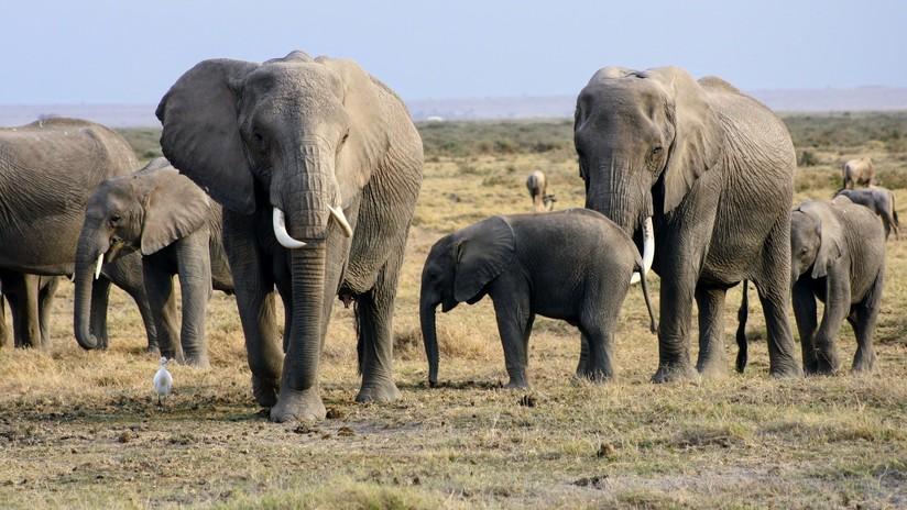 Descubren un gen 'zombi' que protege a los elefantes contra el cáncer