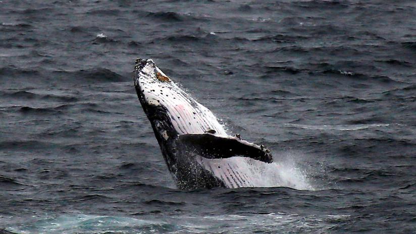 """""""¡Y de repente, apareció la gran bestia!"""": Una ballena vuelca a un barco pesquero en EE.UU. (FOTO)"""